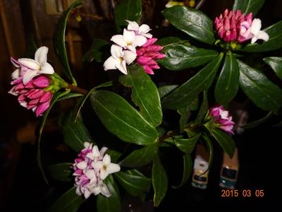 DSC01444沈丁花咲く