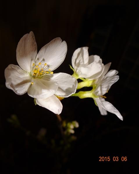 DSC01452桜開花2