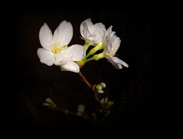DSC01451櫻開花1