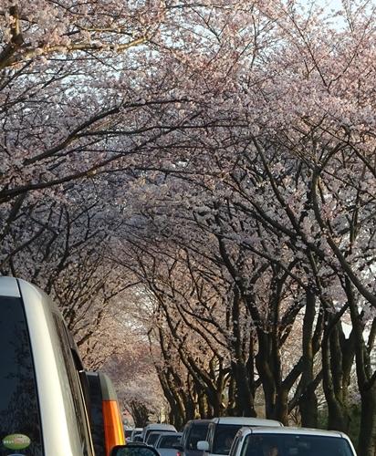 DSC01612瀬谷海軍道路の櫻