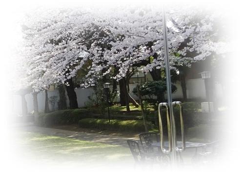 DSC01596官邸の櫻