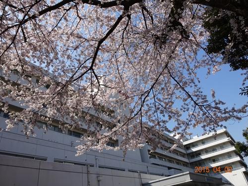 DSC01657旭中央病院の櫻