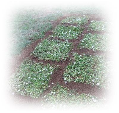 DSC02085緑のじゅうたん制作中