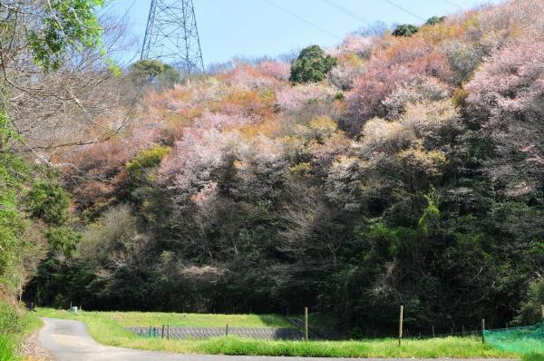 20150402yamazakura7187.jpg