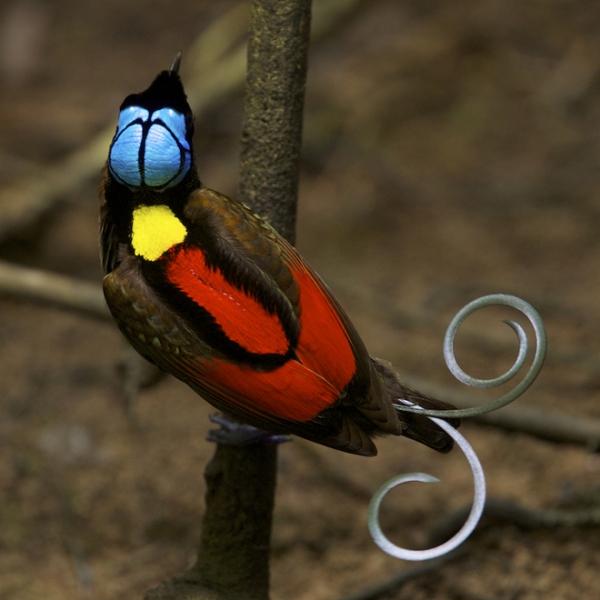 birds-of-paradise9.jpg