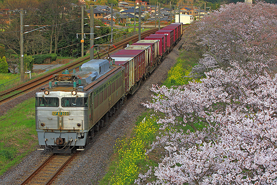 桜と81303