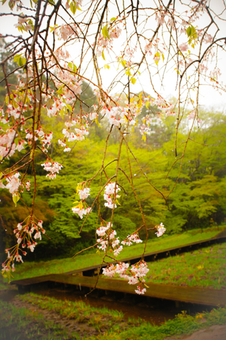 桜のしずく