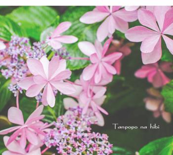 PINK紫陽花