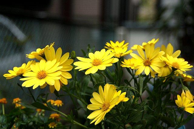 オステオスペルマム 黄花