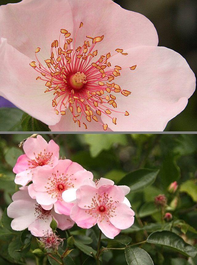 ピンク・サクリーナ