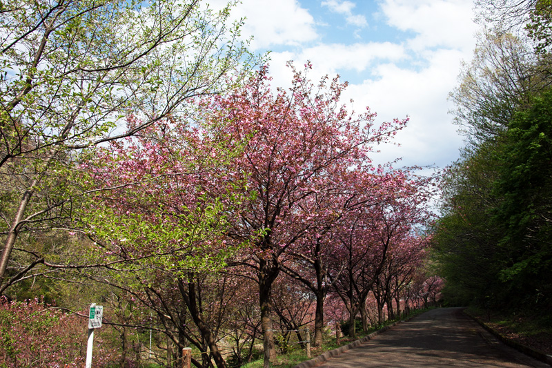 八重桜ロード
