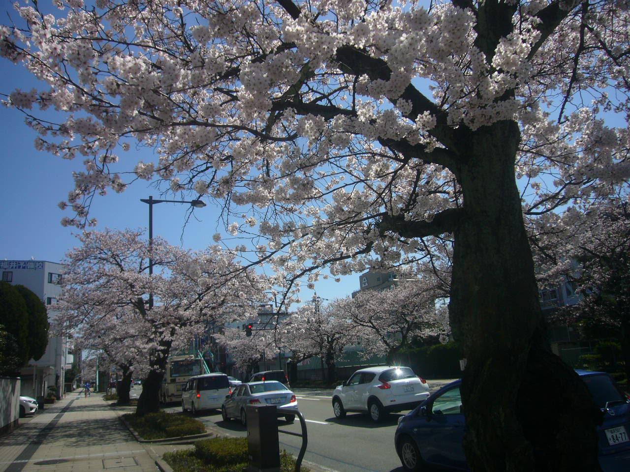 桜通り 本田産科前 H27.4.2