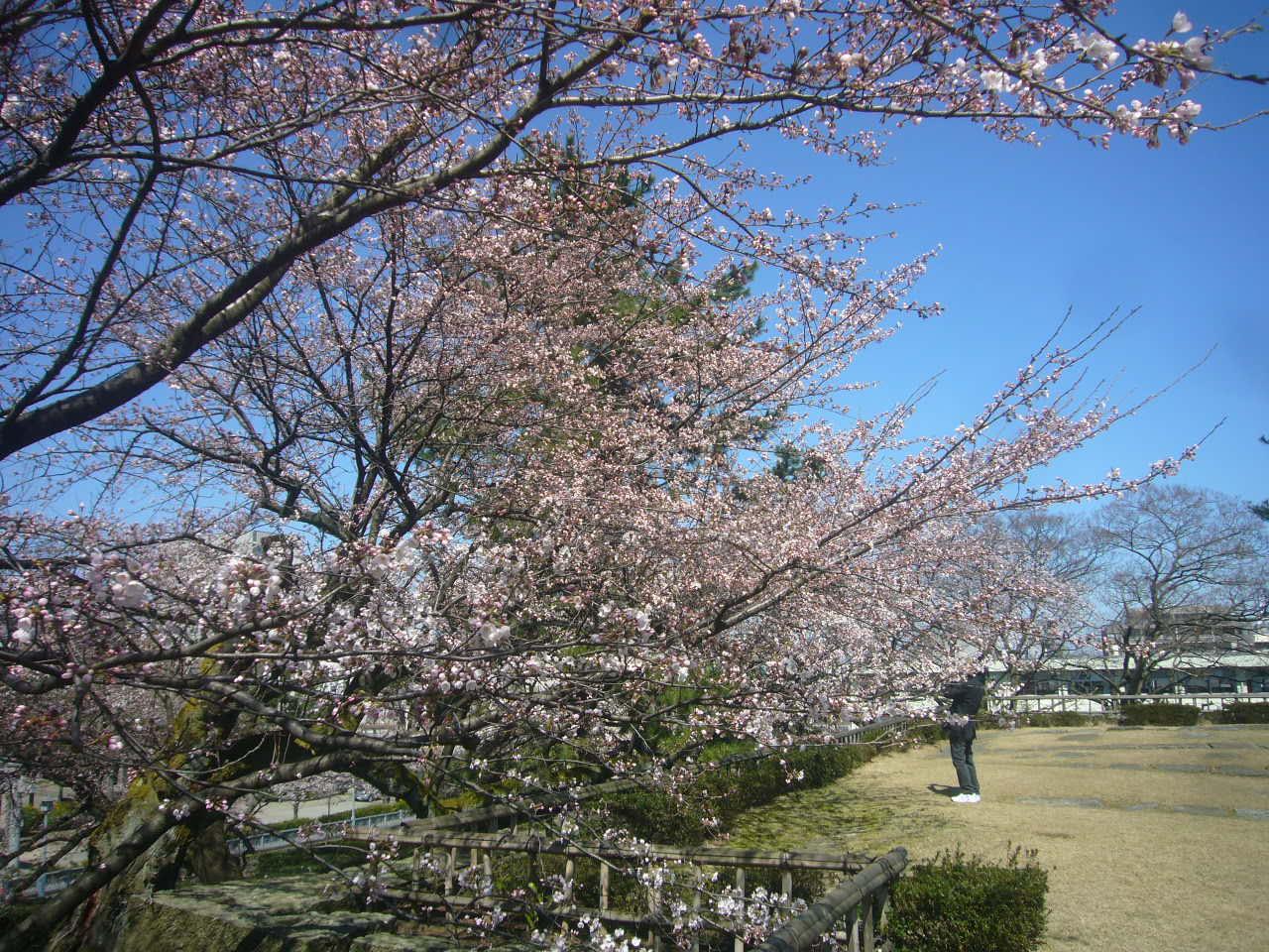 福井城跡 桜スポット まだいまいちH27.4.2