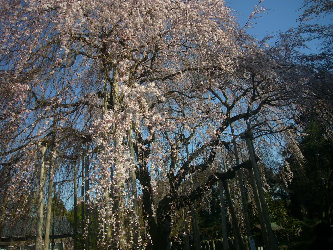 足羽神社しだれ桜 H27.4.2午後