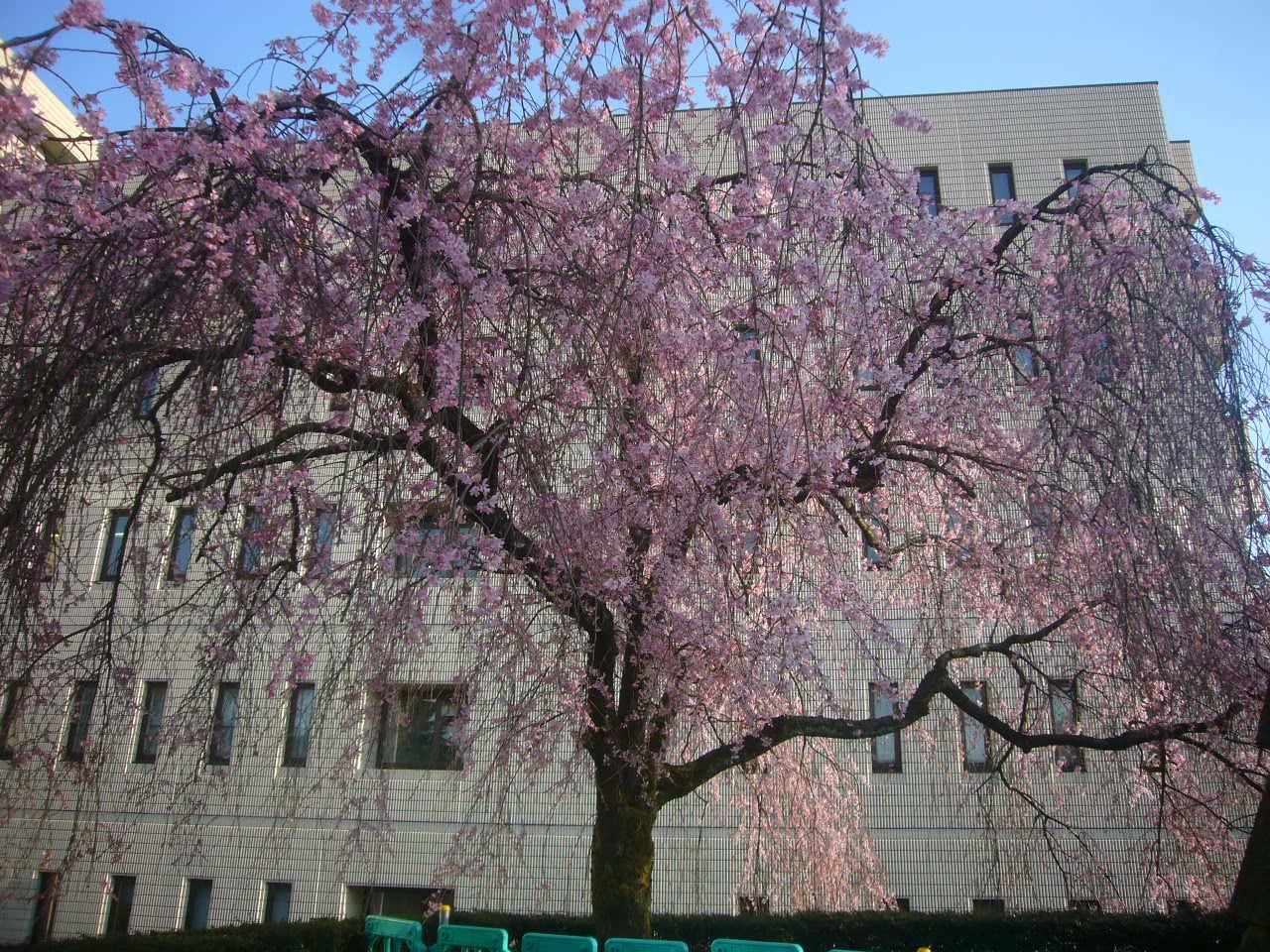 福井城址しだれ桜 H27.4.2午後