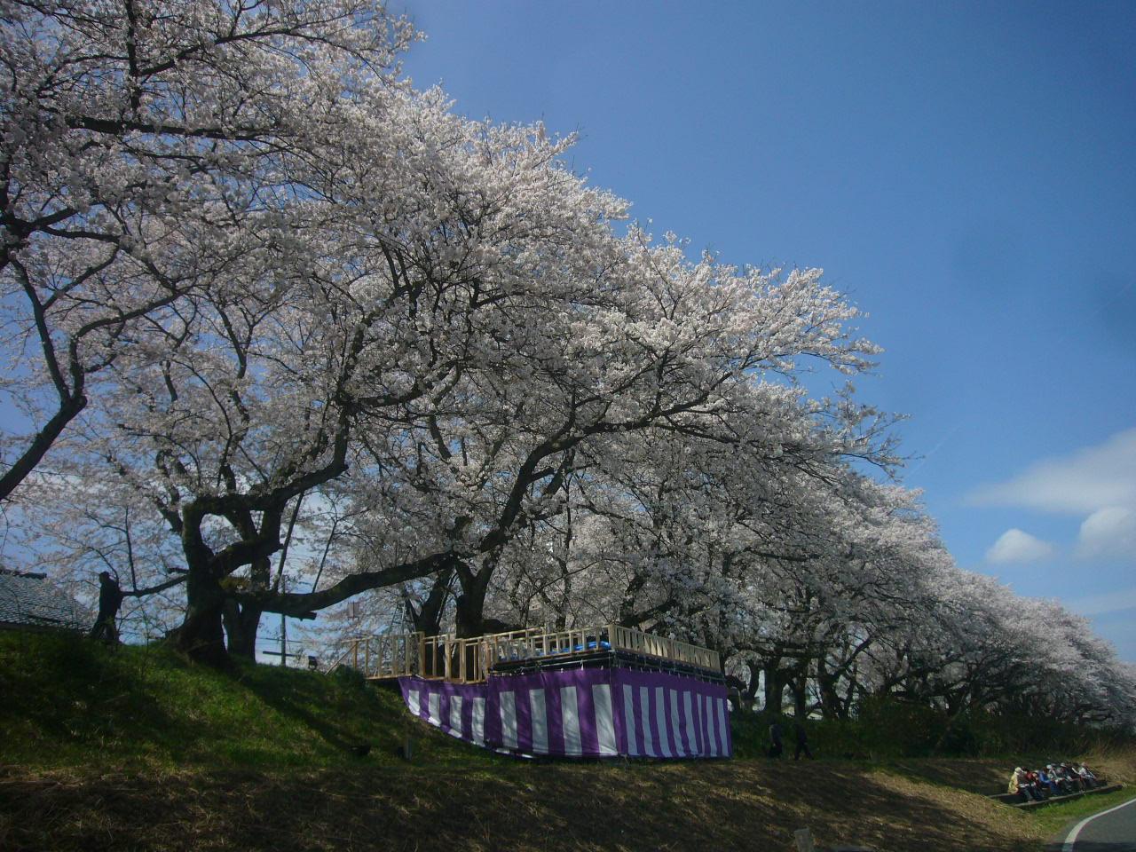 最後のひと咲 足羽川堤防H27.4.9