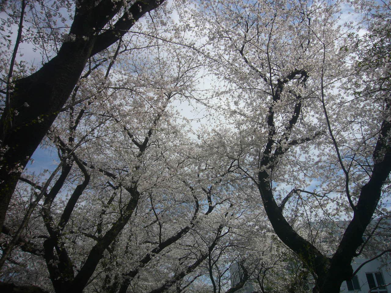 桜咲いた足羽川堤防 H27.4.9