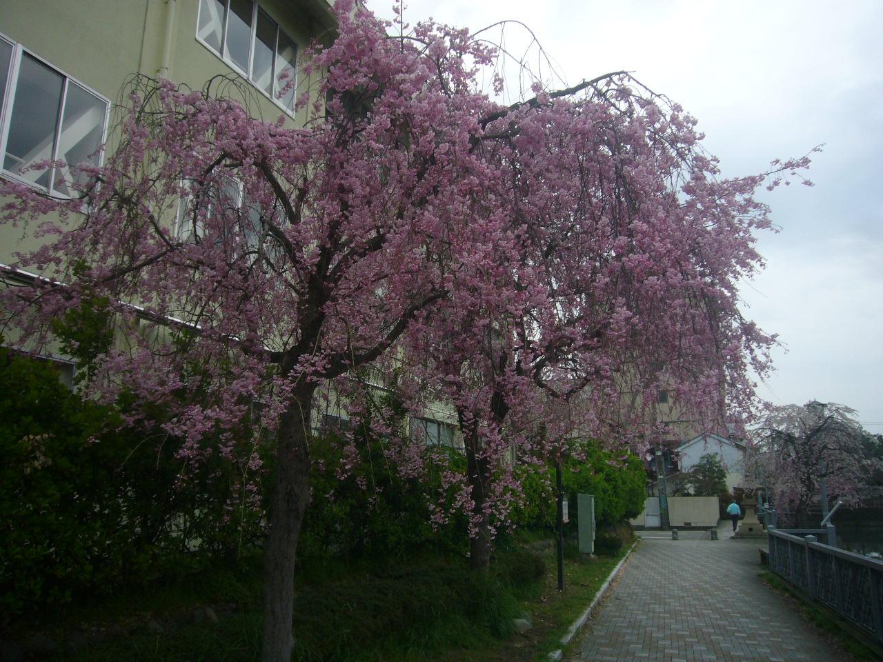 もうすぐうば桜 順化小 H27.4.10