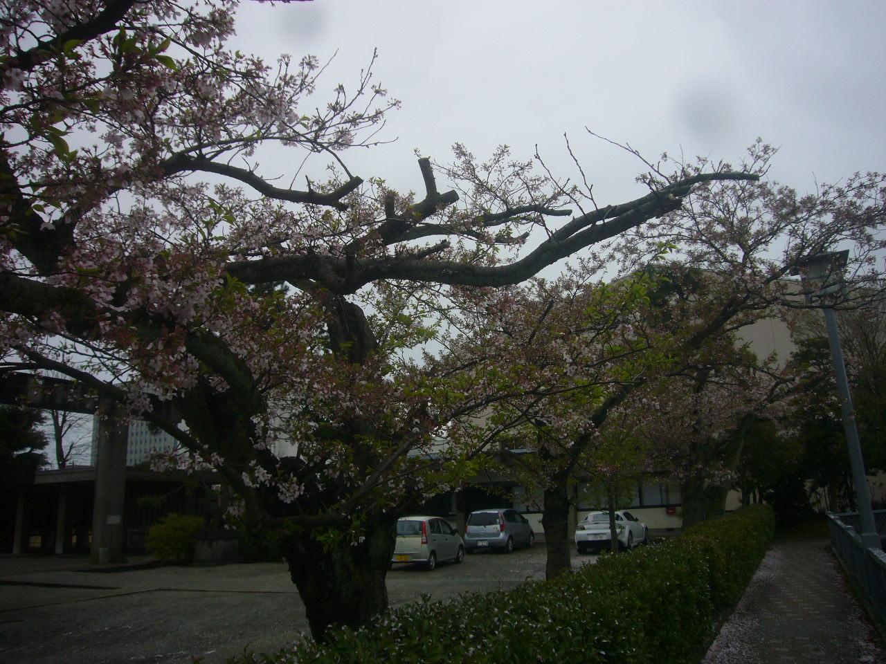 もう、うば桜 H27.4.14