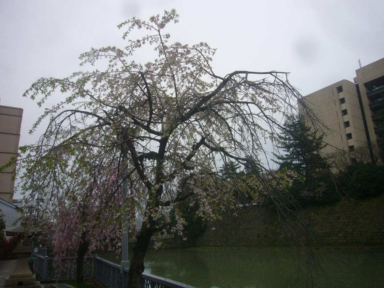 どうみても、うば桜 H27.4.14