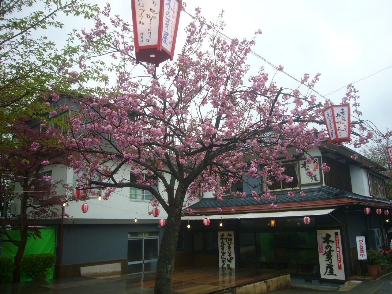 ちがう桜が H27.4.19
