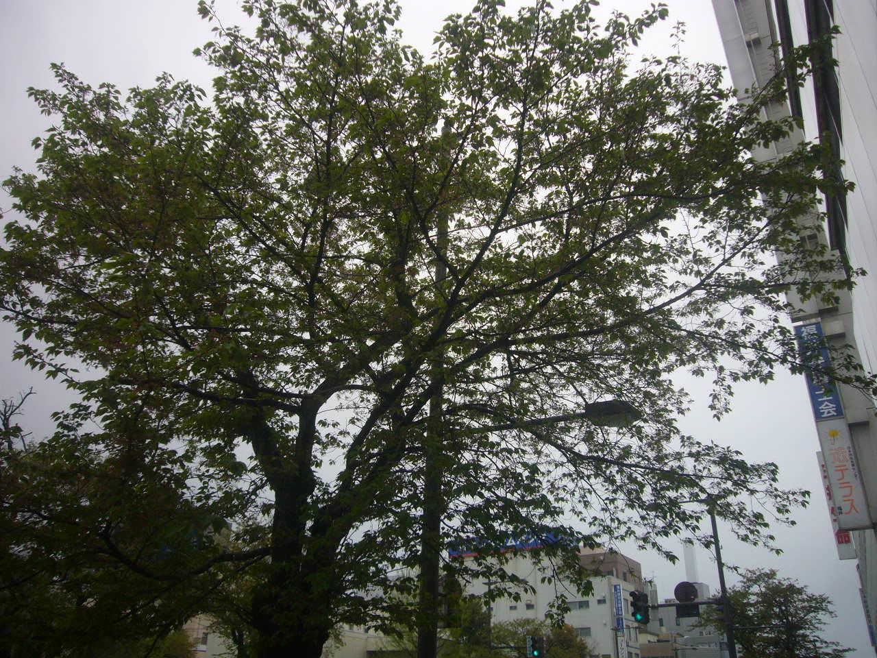 桜の新緑へ H27.4.19