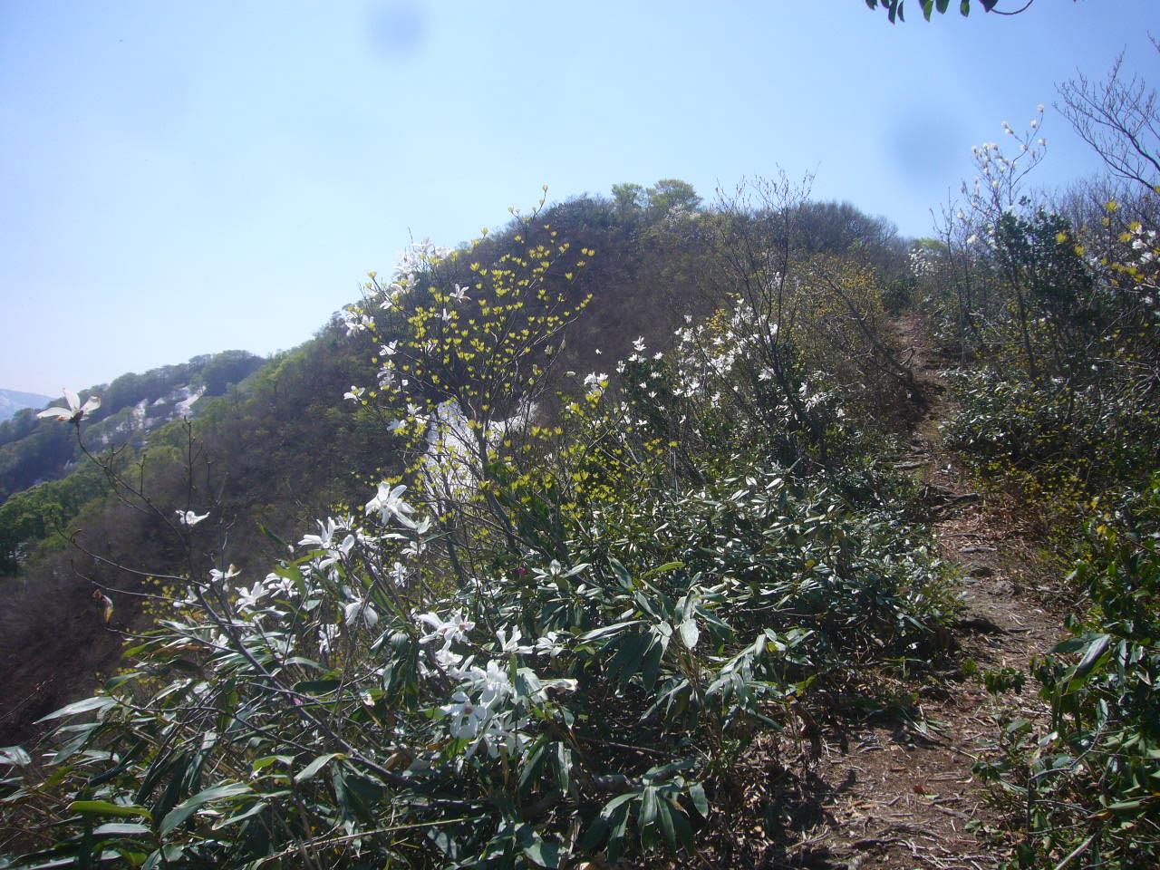 富士写ケ岳から小倉谷山コブシの道H27.4.26