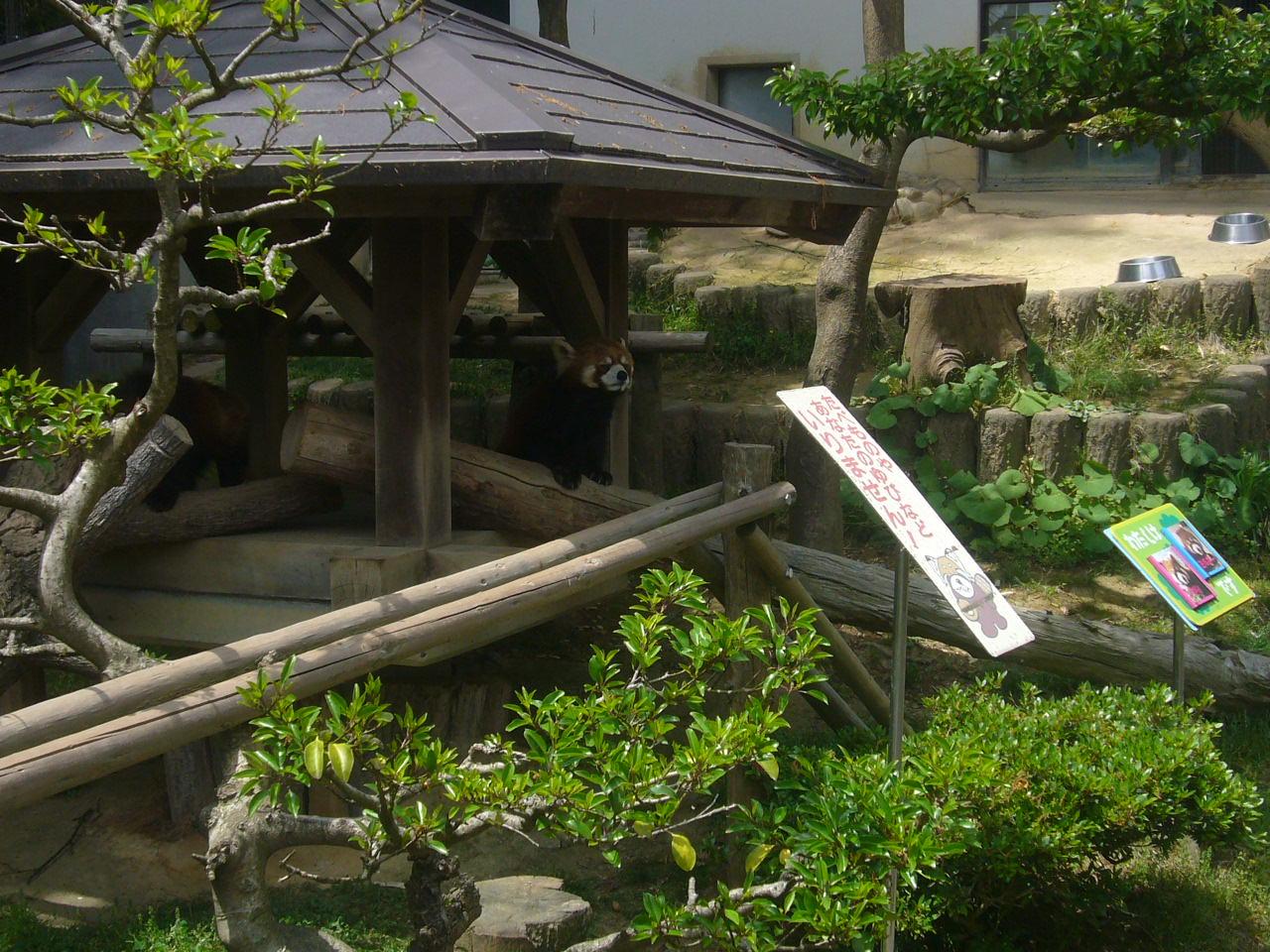 西山公園レッサーパンダH27.5.6