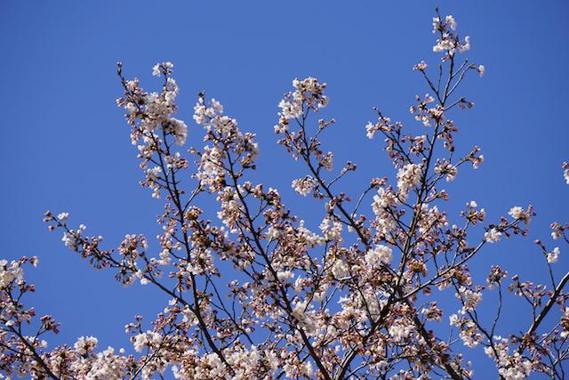 0328桜