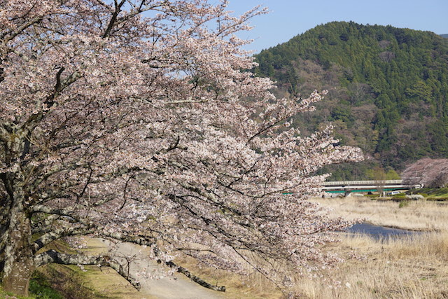 0328桜6