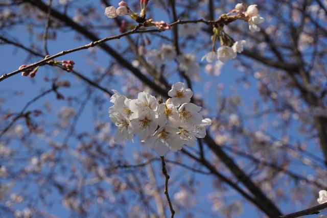 0328桜9