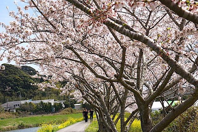 0404桜4