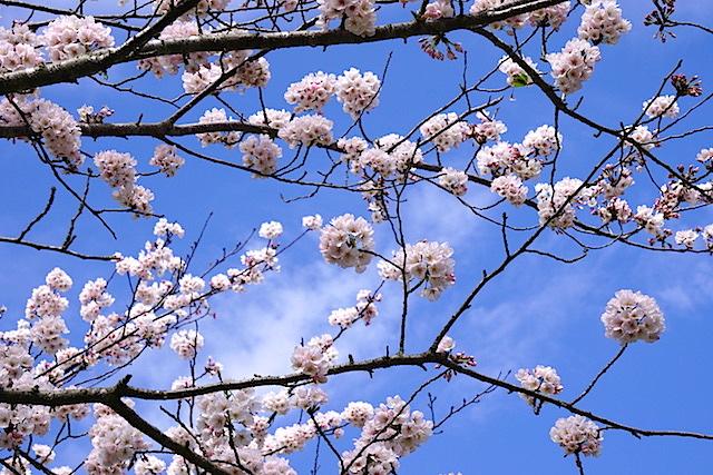 0404桜3