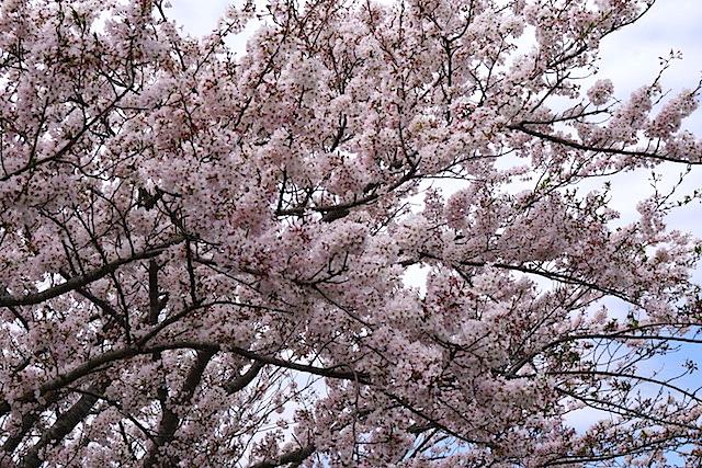 0404桜8