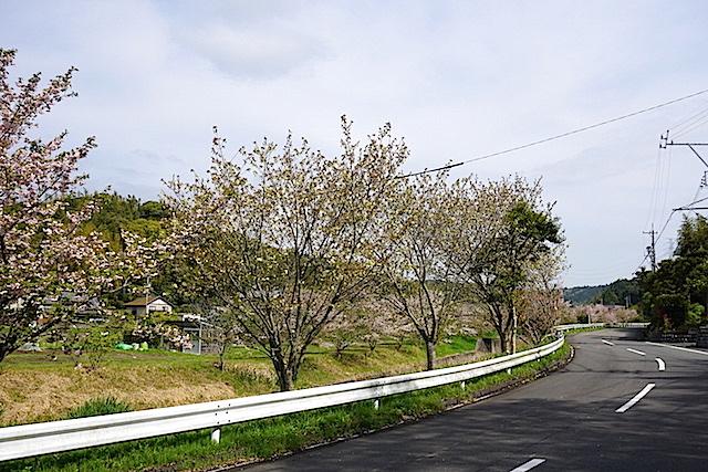 0412緑桜