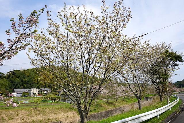 0412緑桜1