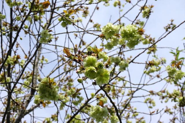 0412緑桜2