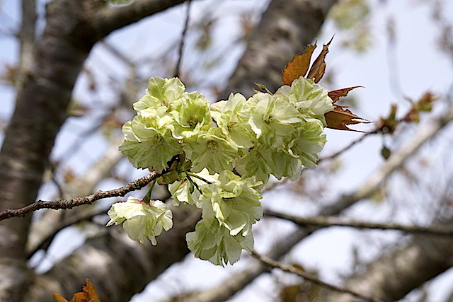 0412緑桜3