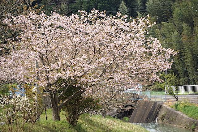 0412緑桜4