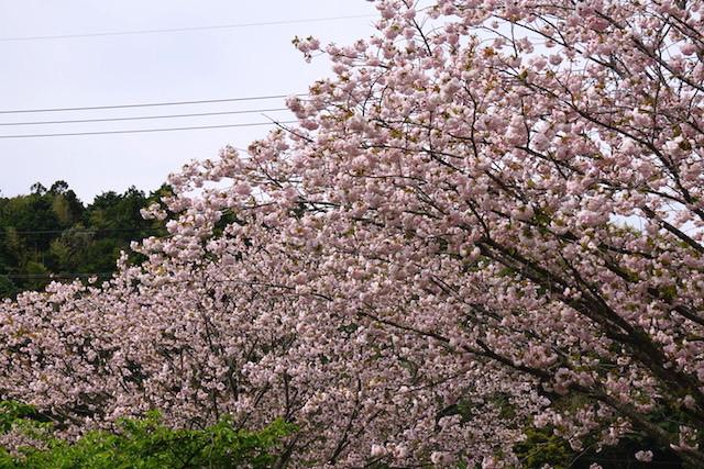 0412緑桜5