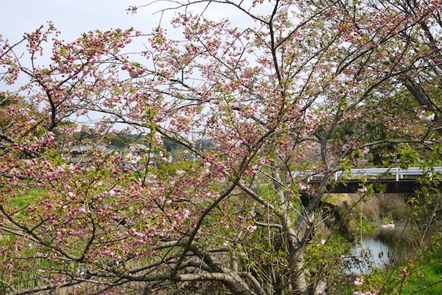 0412緑桜6