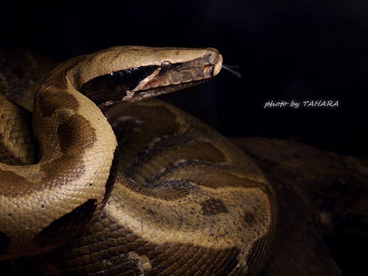 Python brongersmai