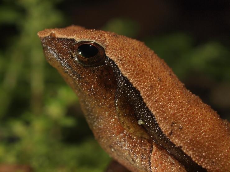 Kalophrynus punctatus