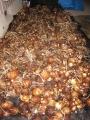 H26.12.23サトイモ収穫②(60k)@IMG_3998