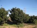 H27.2.2ビワの樹剪定前@IMG_4195