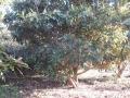 H27.2.2ビワの樹剪定前@IMG_4200