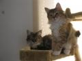 H27.3.27ジャンフォレスト猫、ひより♀・コハル♀@IMG_4513