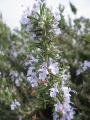 H27.4.9矮性ローズマリーの花@IMG_4640