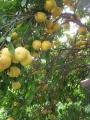 H27.4.12グレープフルーツの様子@IMG_4682