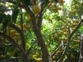 H27.4.12グレープフルーツの様子@IMG_4684